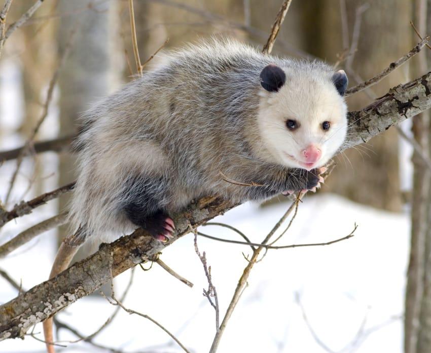 possum-1-850x697