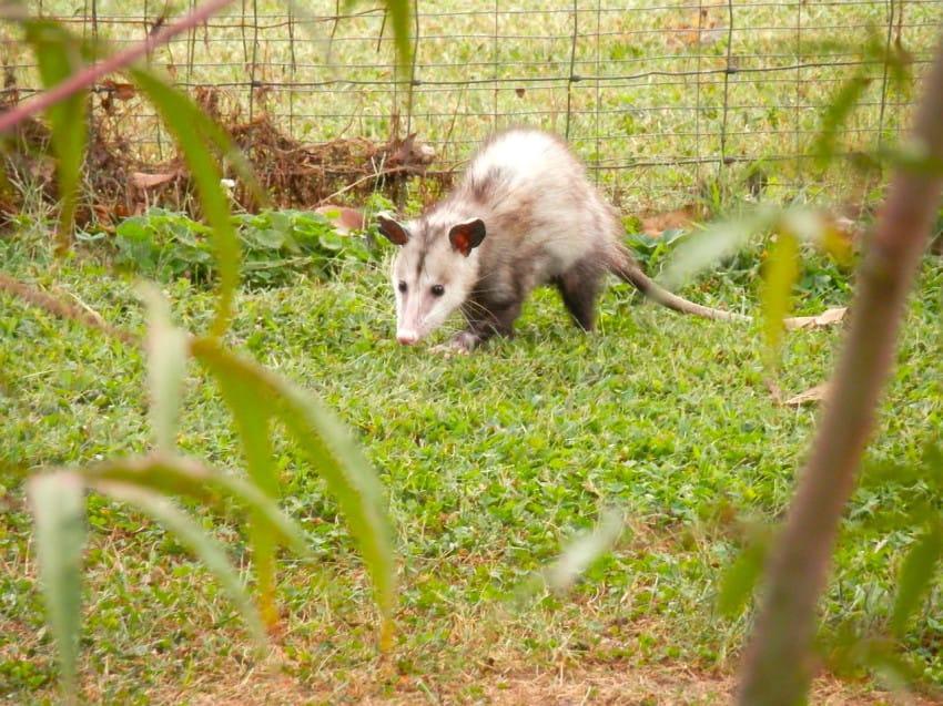possum-10-850x637