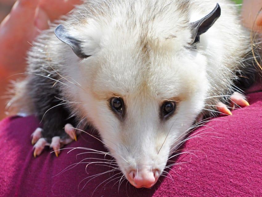 possum-3-850x641
